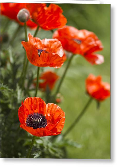 Poppy Greeting Cards - Stunners Greeting Card by Rebecca Cozart