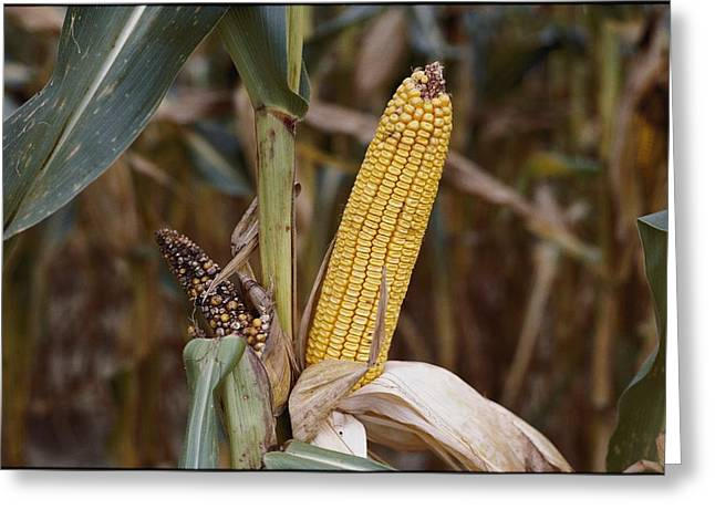 Eastern Shore Greeting Cards - Stunted And Dried Ears Of Corn Greeting Card by Stephen St. John