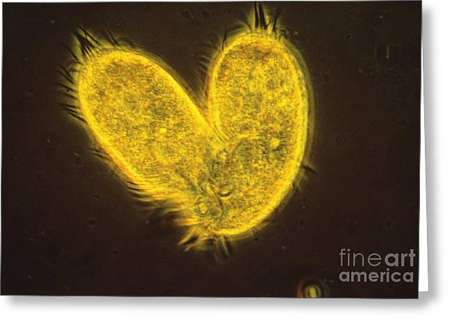 Protist Greeting Cards - Stylonychia Greeting Card by Eric V. Grave