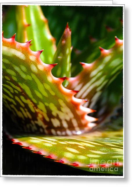 Succulents With Spines Greeting Card by Judi Bagwell