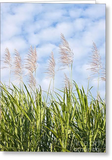 Leaf Greeting Cards - Sugar cane in bloom  Greeting Card by Johan Larson
