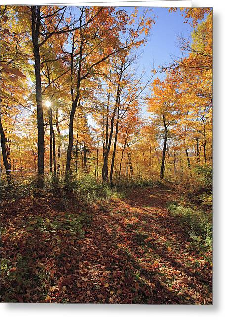 Jul08 Greeting Cards - Sugar Maple Trees In Fall Greeting Card by Yves Marcoux