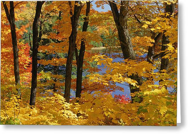 Gatineau Park Greeting Cards - Sugar Maples, Gatineau Park, Quebec Greeting Card by Mike Grandmailson