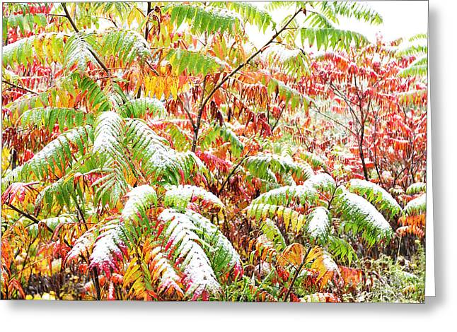 Glabra Greeting Cards - Sumac and Snow  Greeting Card by Thomas R Fletcher
