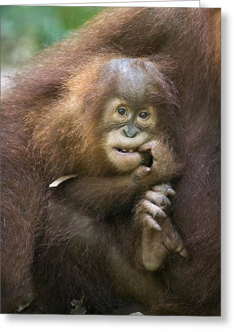 Sumatran Orang-utan Greeting Cards - Sumatran Orangutan 2.5 Year Old Baby Greeting Card by Suzi Eszterhas