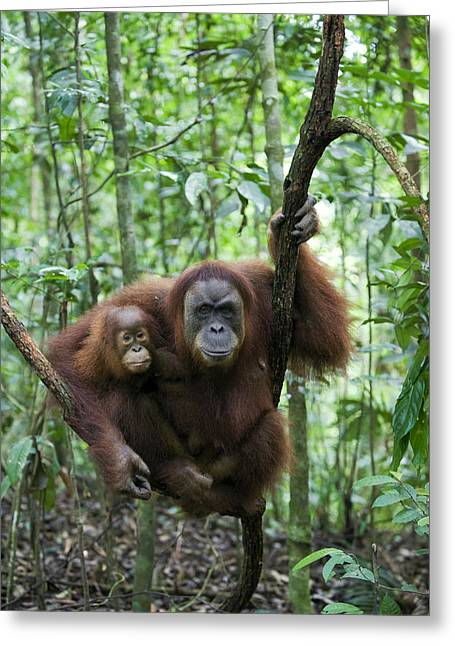 Sumatran Orang-utans Greeting Cards - Sumatran Orangutan And Her 2.5 Year Old Greeting Card by Suzi Eszterhas