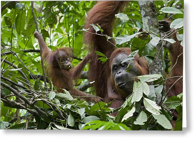 Sumatran Orang-utans Greeting Cards - Sumatran Orangutan And Her 9 Month Old Greeting Card by Suzi Eszterhas