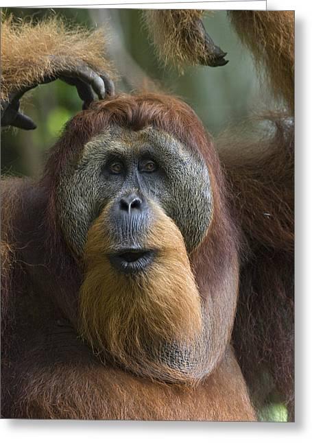 Sumatran Orang-utan Greeting Cards - Sumatran Orangutan Male Calling Gunung Greeting Card by Suzi Eszterhas