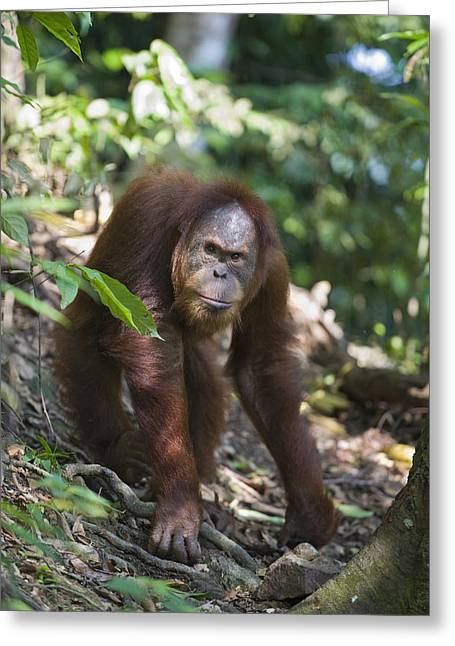 Sumatran Orang-utan Greeting Cards - Sumatran Orangutan Male Gunung Leuser Greeting Card by Suzi Eszterhas