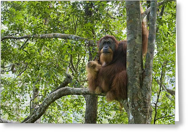 Sumatran Orang-utans Greeting Cards - Sumatran Orangutan Male In Tree Gunung Greeting Card by Suzi Eszterhas