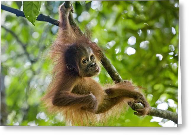 Sumatran Orang-utans Greeting Cards - Sumatran Orangutan Pongo Abelii Baby Greeting Card by Suzi Eszterhas