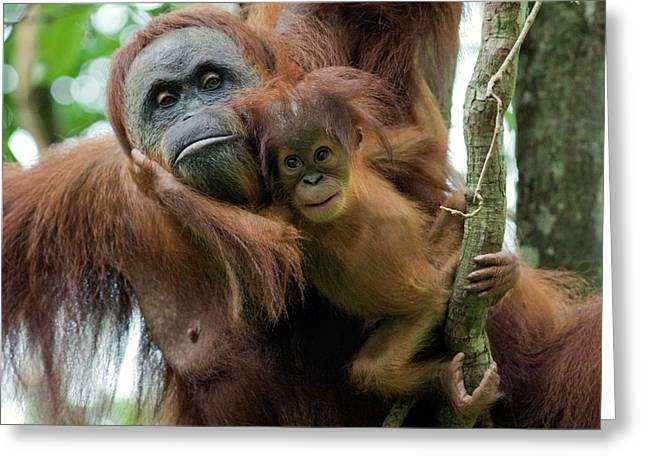Sumatran Orang-utans Greeting Cards - Sumatran Orangutan Pongo Abelii Mother Greeting Card by Suzi Eszterhas