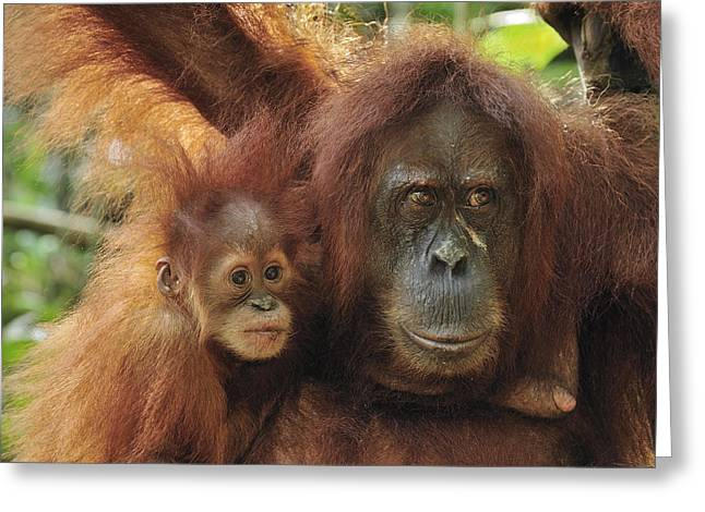 Sumatran Orang-utan Greeting Cards - Sumatran Orangutan Pongo Abelii Mother Greeting Card by Thomas Marent
