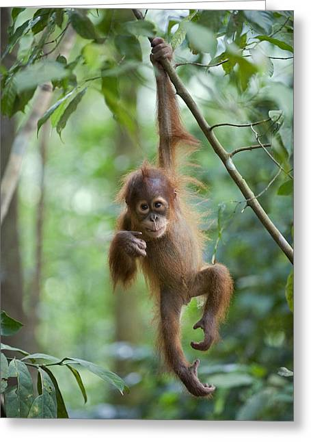 Animals and Earth - Greeting Cards - Sumatran Orangutan Pongo Abelii One Greeting Card by Suzi Eszterhas