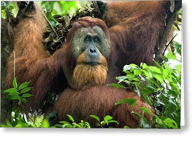 Sumatran Orang-utan Greeting Cards - Sumatran Orangutan Pongo Abelii Greeting Card by Suzi Eszterhas