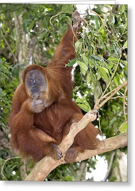 Sumatran Orang-utans Greeting Cards - Sumatran Orangutan Greeting Card by Tony Camacho