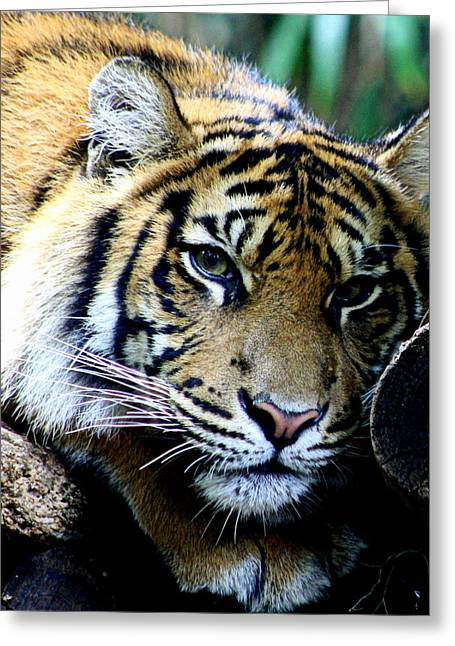 """animal Photographs"" Greeting Cards - Sumatran Tiger - Melbourne Zoo Greeting Card by Tam Graff"
