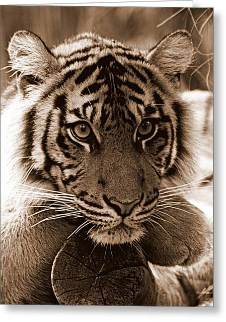"""animal Photographs"" Greeting Cards - Sumatran Tiger in Sepia Greeting Card by Tam Graff"