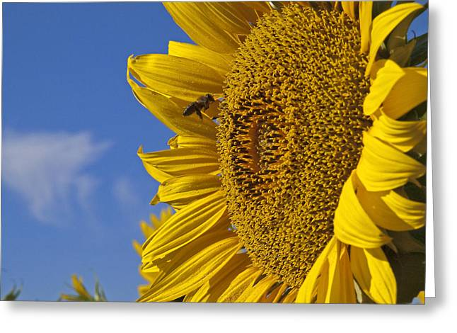 Bee In Flight Greeting Cards - Summer 1 Greeting Card by Kenton Smith