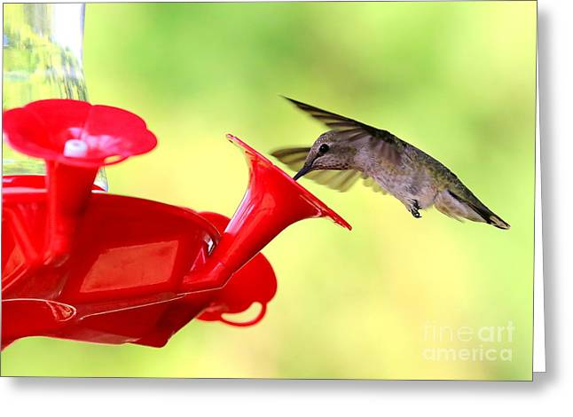 Wildlife In Gardens Greeting Cards - Summer Fun Hummingbird Greeting Card by Carol Groenen
