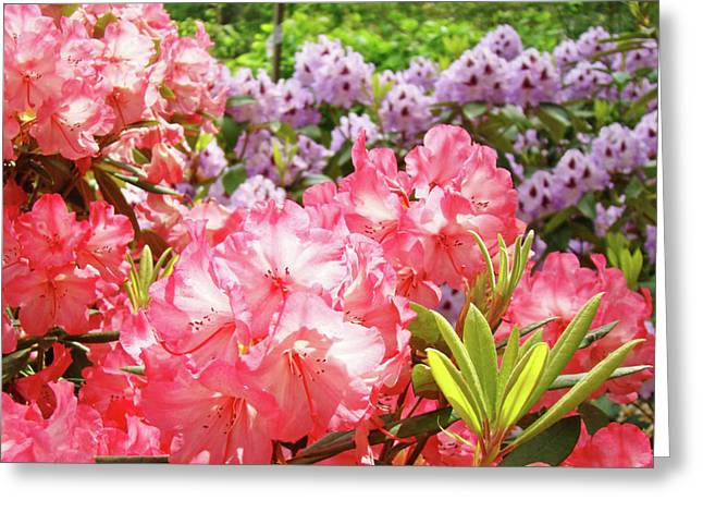 �rhodies Flowers� Greeting Cards - Summer Garden Pink Purple Rhododendrons Baslee Greeting Card by Baslee Troutman Fine Art Photography