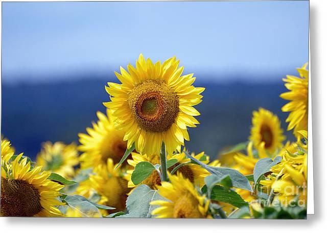 Summer Gold Greeting Card by Edward Sobuta