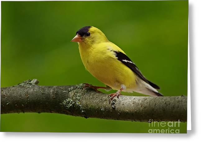 Summer Joy - Male Gold Finch Greeting Card by Inspired Nature Photography By Shelley Myke
