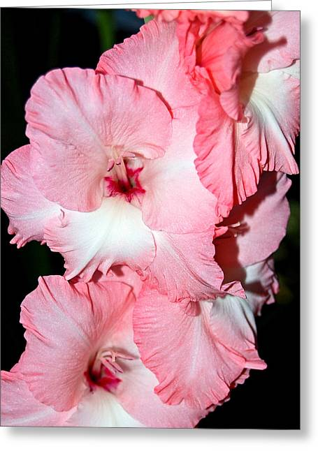 Randall Templeton Greeting Cards - Summer pink. Greeting Card by Randall Templeton