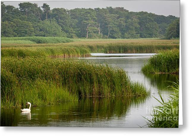 Harwich Greeting Cards - Summer Swan Greeting Card by Susan Cole Kelly