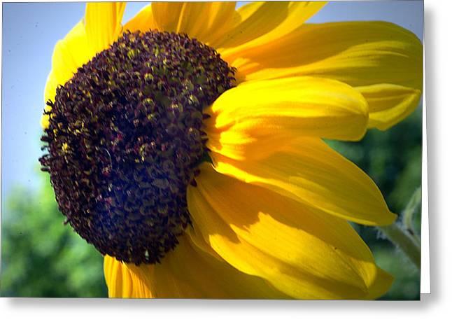 Sun Flower Greeting Card by Cheryl Cencich