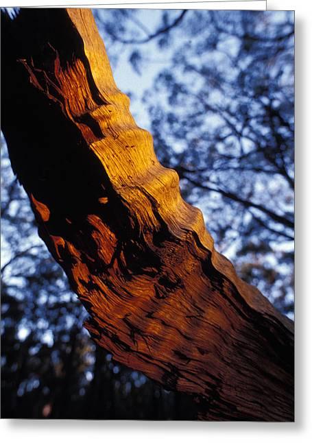 Dead Tree Trunk Greeting Cards - Sun Rays Highlight A Dead Tree Trunk Greeting Card by Jason Edwards
