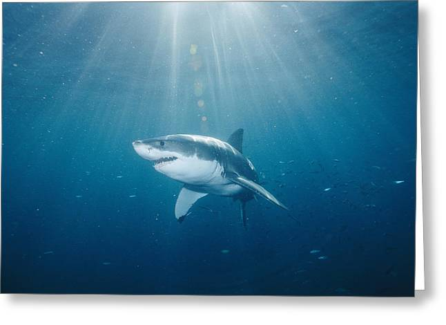 White Shark Greeting Cards - Sun Rays Light The Path Of A Great Greeting Card by Brian J. Skerry
