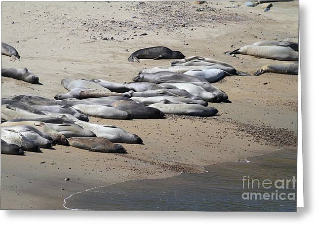 Sunbathing Elephant Seals Along A Beach At Point Reyes California . 7D16063 Greeting Card by Wingsdomain Art and Photography