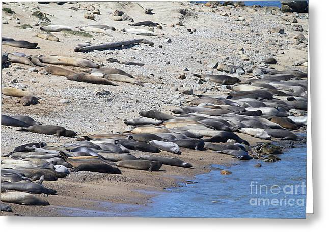 Sealions Greeting Cards - Sunbathing Elephant Seals Along A Beach At Point Reyes California . 7D16065 Greeting Card by Wingsdomain Art and Photography