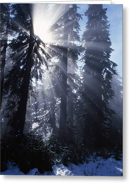 Foggy Day Greeting Cards - Sunbeams Through Pine Trees Greeting Card by Natural Selection Craig Tuttle