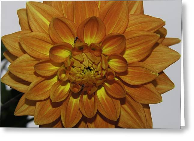 Dinner-plate Dahlia Greeting Cards - Sunburst Greeting Card by Greg Jones