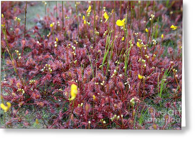 Round Leaves Greeting Cards - Sundew Drosera Rotundifolia Greeting Card by Ted Kinsman