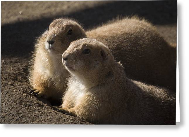 Prairie Dogs Greeting Cards - Sundown Greeting Card by Trish Tritz
