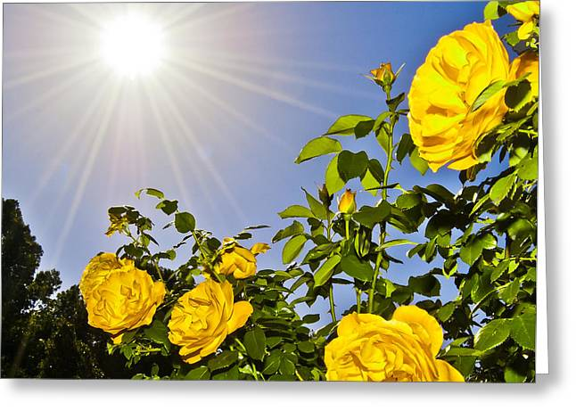 Sunflare and Yellow Roses Greeting Card by Amber Flowers