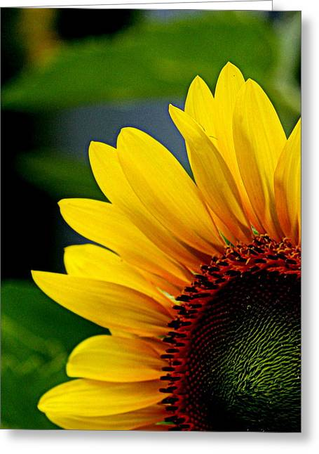 Sunflower Photograph Greeting Cards - Sunflower - 1 Greeting Card by Tam Graff