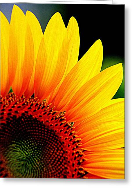 Floral Photographs Greeting Cards - Sunflower - 3 Greeting Card by Tam Graff