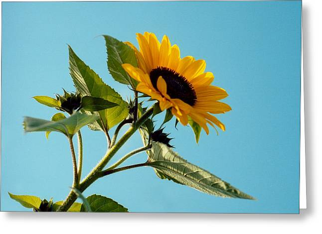 Splashy Greeting Cards - Sunflower and blue sky Greeting Card by Marcio Faustino