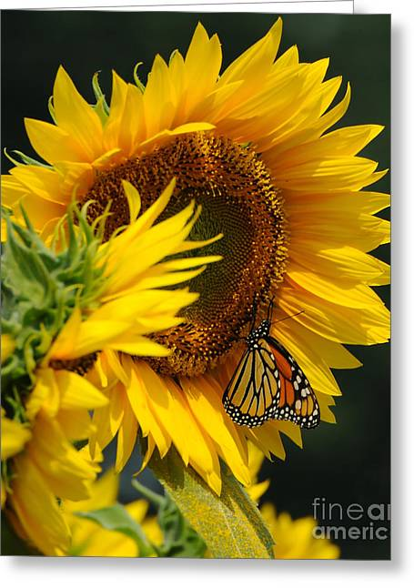 Yellow Sunflower Greeting Cards - Sunflower and Monarch 3 Greeting Card by Edward Sobuta