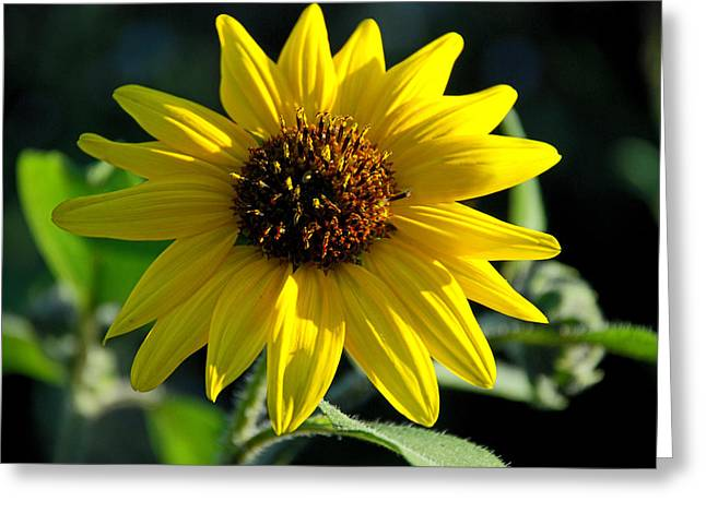 In Full Bloom Greeting Cards - Sunflower Greeting Card by Anthony Citro