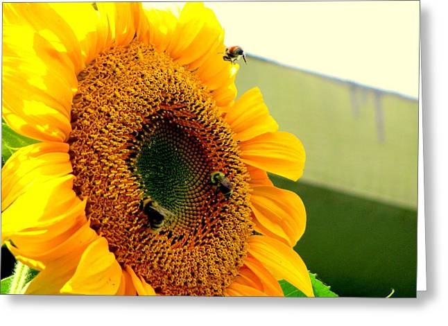 Amy Bradley Greeting Cards - Sunflower Bees Greeting Card by Amy Bradley