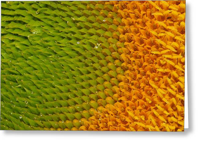 Jean Noren Greeting Cards - Sunflower detail Greeting Card by Jean Noren