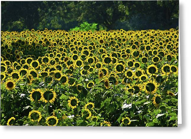 Watermelon Digital Art Greeting Cards - Sunflower Field Closeup Greeting Card by Michael Thomas