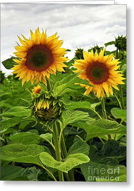 Organic Photographs Greeting Cards - Sunflower field Greeting Card by Elena Elisseeva