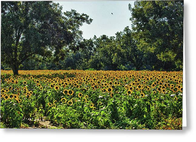 Watermelon Greeting Cards - Sunflower Field in the Trees Greeting Card by Michael Thomas