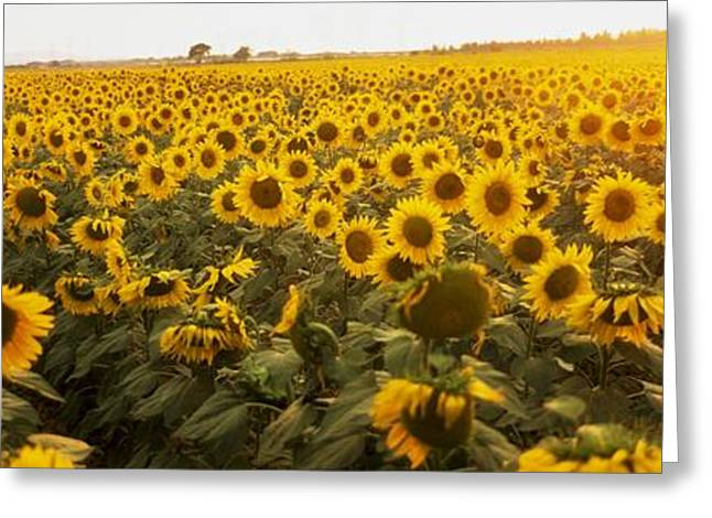 Yellow Sunflower Greeting Cards - Sunflower Field Greeting Card by The Irish Image Collection